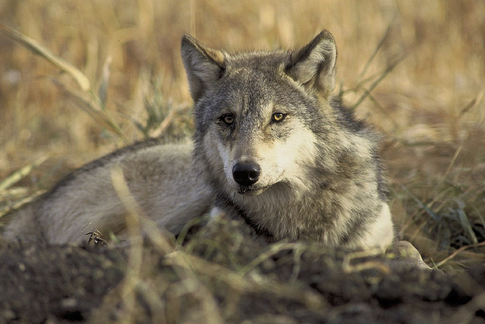 Province Proposed Wolf Hunting with No Limits in British Columbia's Peace Region