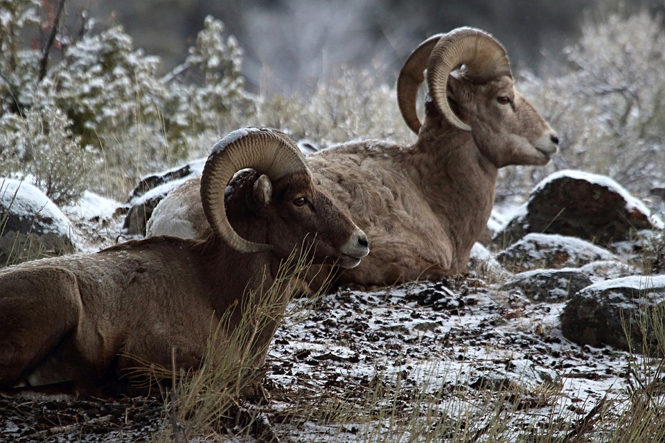 Bighorn Sheep License Auctions for $305,000
