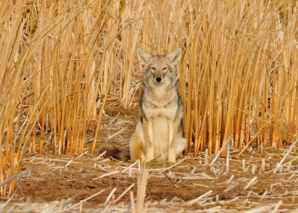 Controversial Coyote Hunting Contest Returns to Alberta