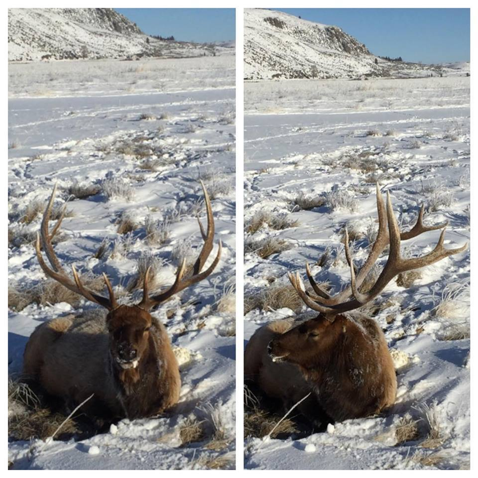 Rocky Mountain Elk Foundation Posts User Photo Depicting Earless Elk