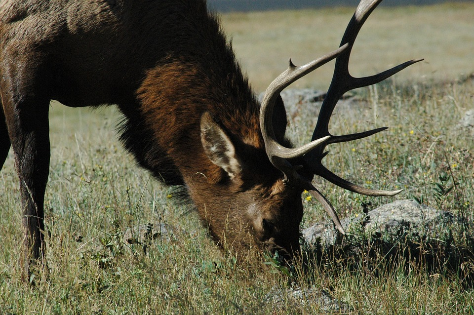 Unprecedented Elk Numbers in Montana Lead to Extended Season