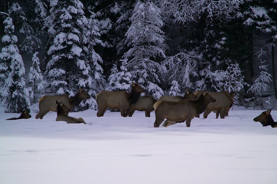 Montana Highway Patrol Captures Video of a Herd of Jaywalking Elk