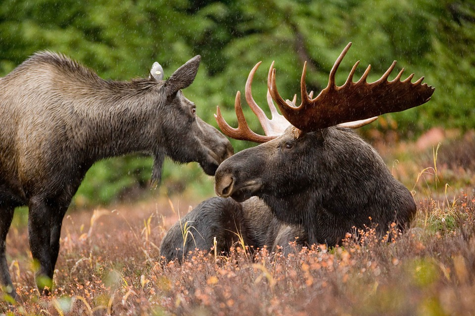 Mystery of What's Killing Minnesota's Moose Starting to Unravel