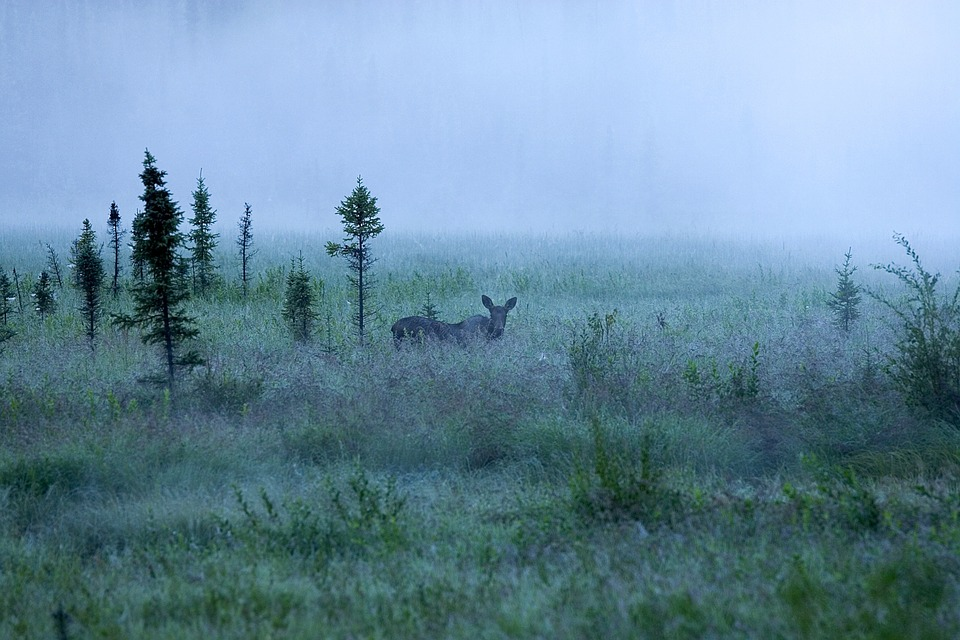 moose-in-the-fog