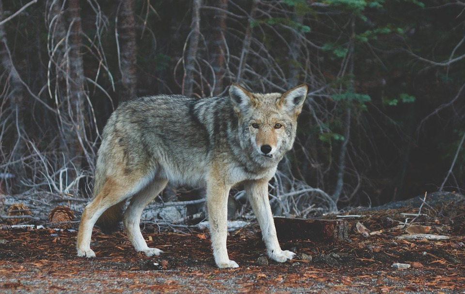 wolves-coyotes-and-other-predators