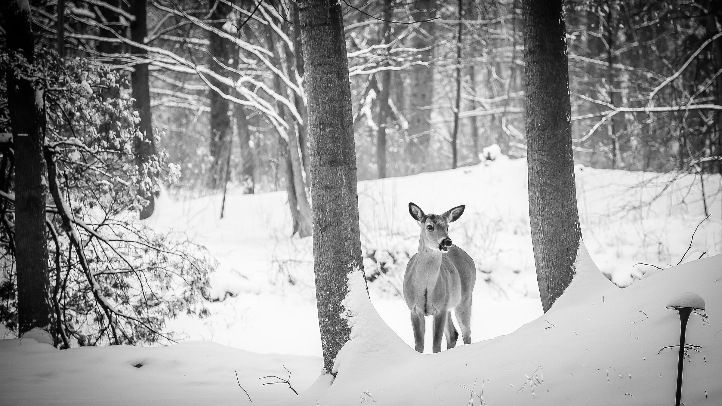 whitetail-deer-in-snow