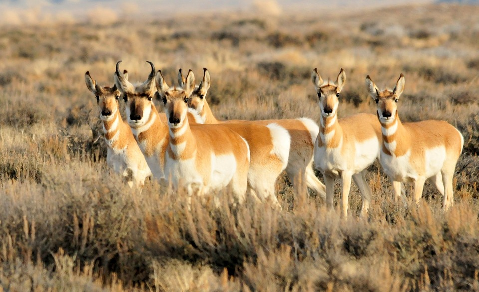 pronghorn-herd