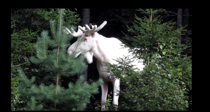 Rare Video Footage of an even Rarer Albino Moose in Sweden