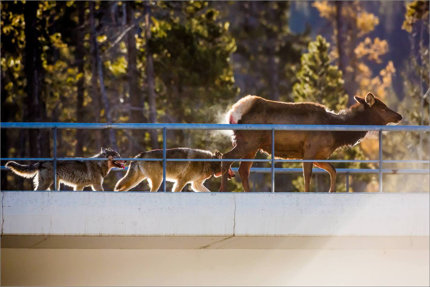 Photographer Documents Wolf Pack Taking Down Elk on Alberta Overpass