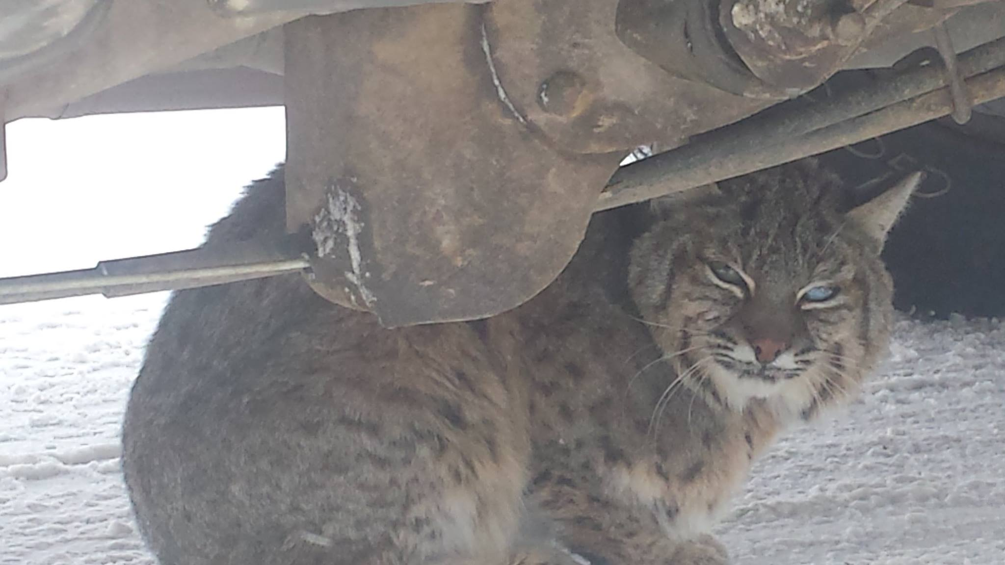Bobcat Hides Under Truck, Bites Warden in Rescue