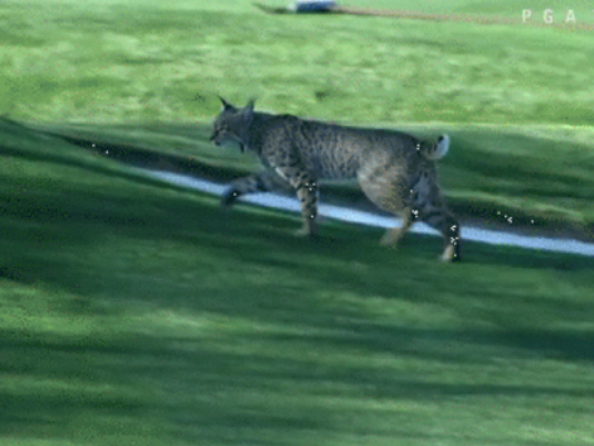 Bobcat Spotted at the Waste Management Phoenix Open