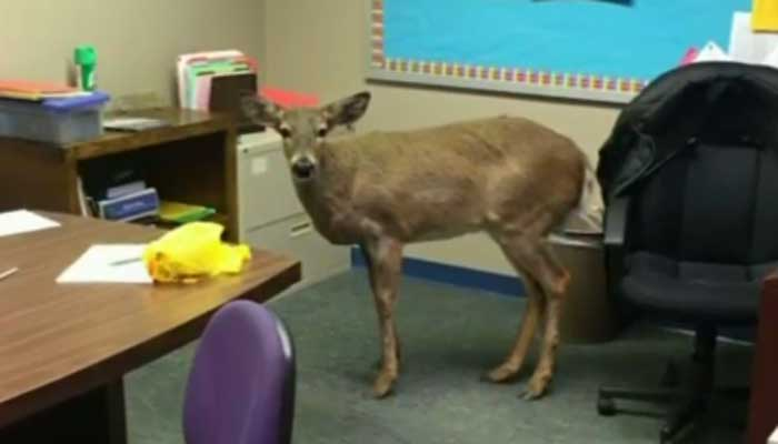 Deer Jumps Through Window at New Jersey Middle School