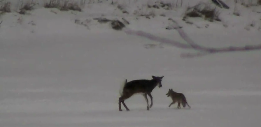 Coyote vs. Deer – Doe Stands Her Ground in Face of Attack
