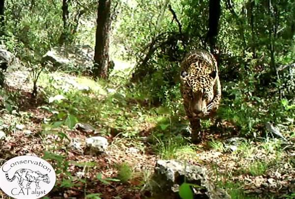 Video Released of America's Only Known Wild Jaguar