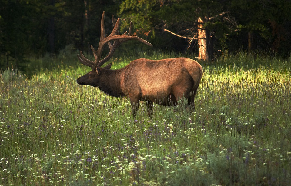 Arkansas Game & Fish Commission Confirms CWD in Elk