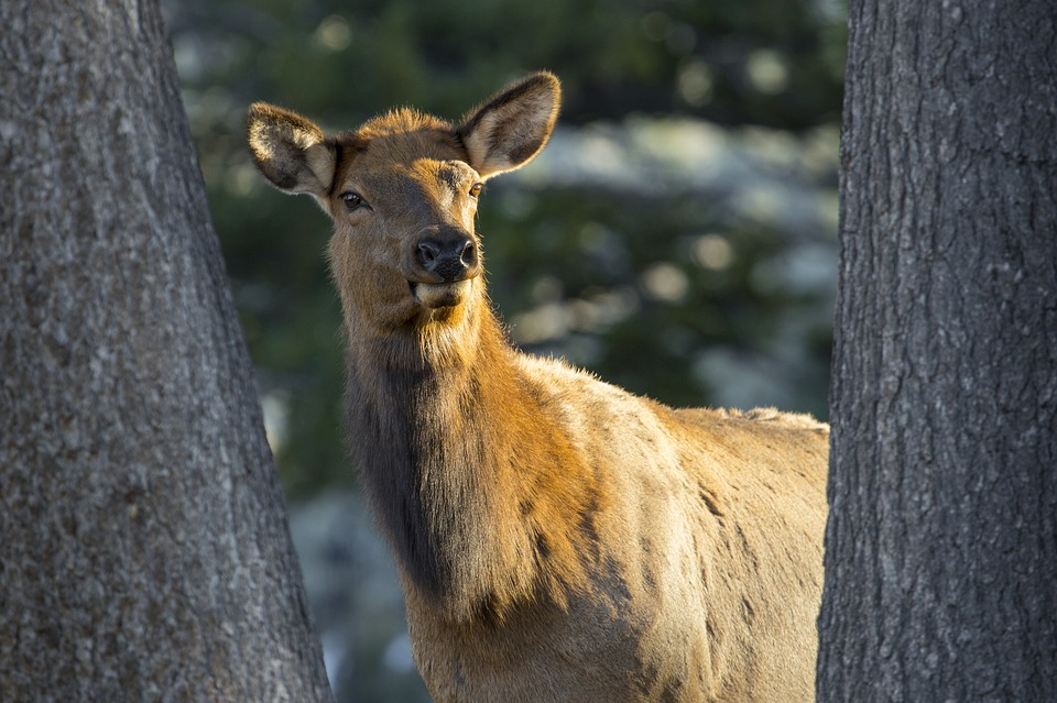 Poachers Devastate Newly Established Elk Herd on Vancouver Island