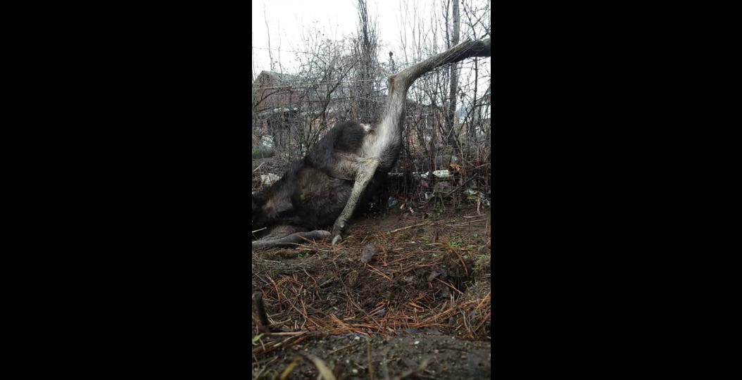 Kelowna Man Rescues Calf Moose, Gets Chased