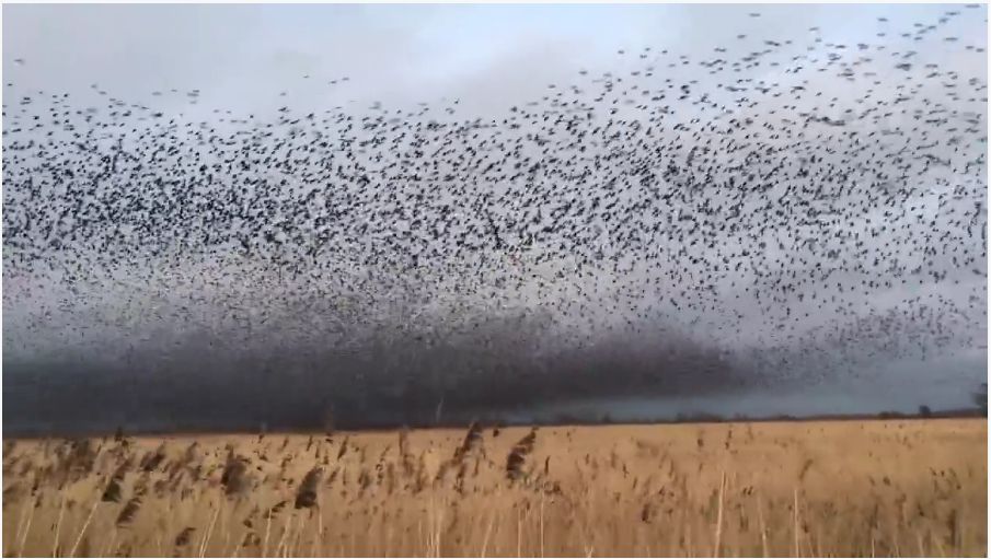 70,000 Starlings Perform One of Nature's Most Extraordinary Sights