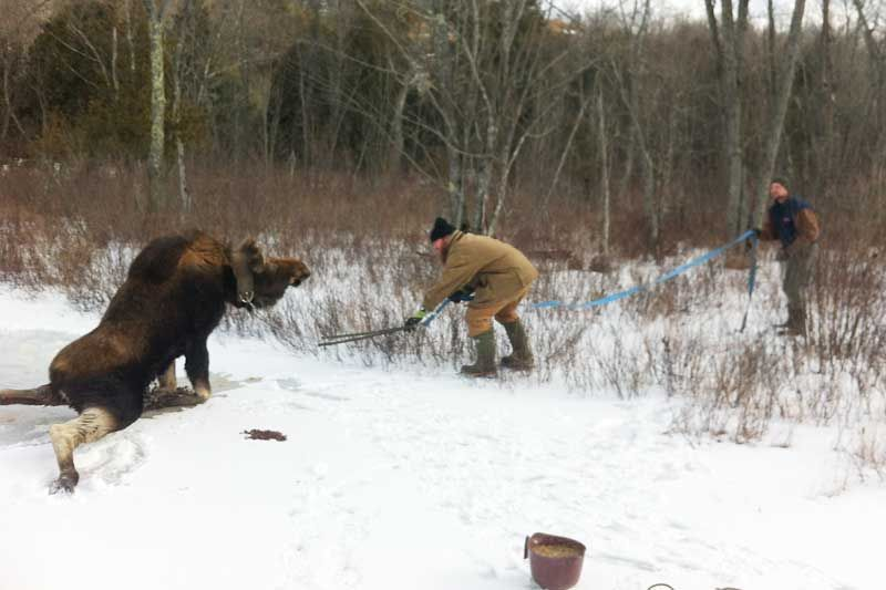 Cow Moose Rescued from Icy Bay in Eastern Ontario