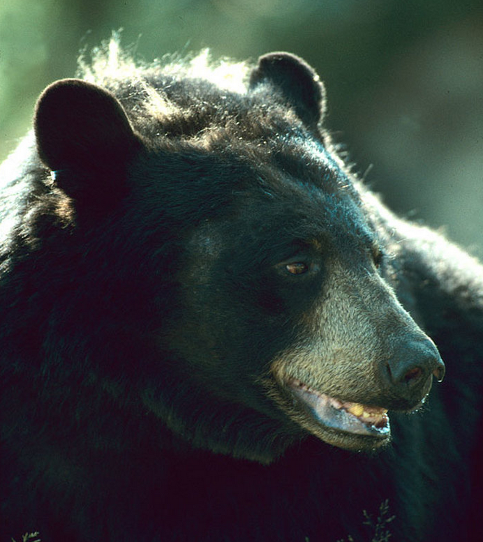 Ontario Announces Spring Bear Hunt Expansion