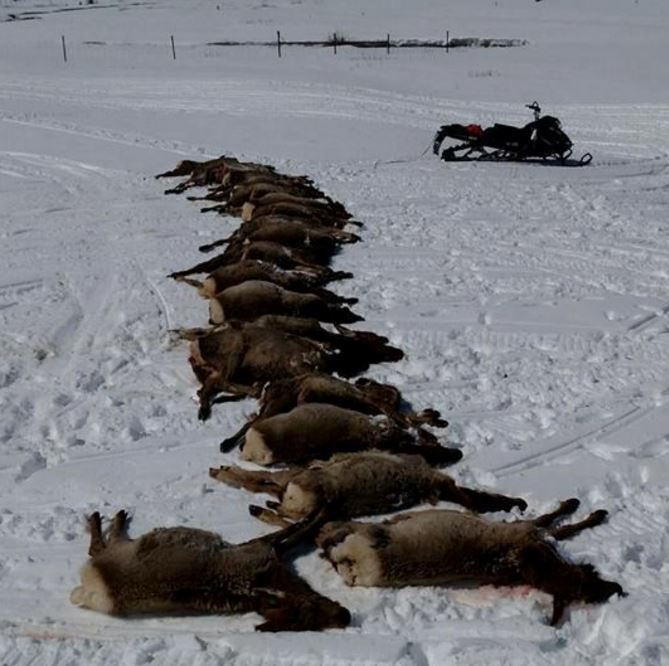"Wolves Slaughter 19 Elk in ""Surplus Killing' in Wyoming"