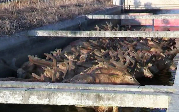 Herd of Wild Elk Rescued from Canal in China