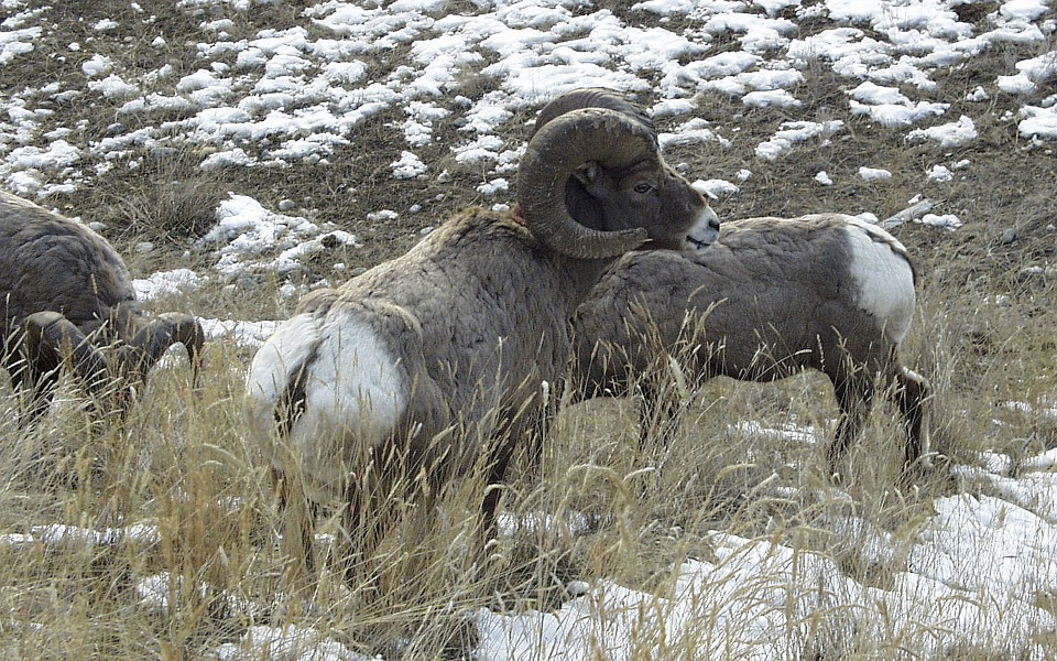 Montana Man Banned from Wild Horse Island for Removing Sheep Horns