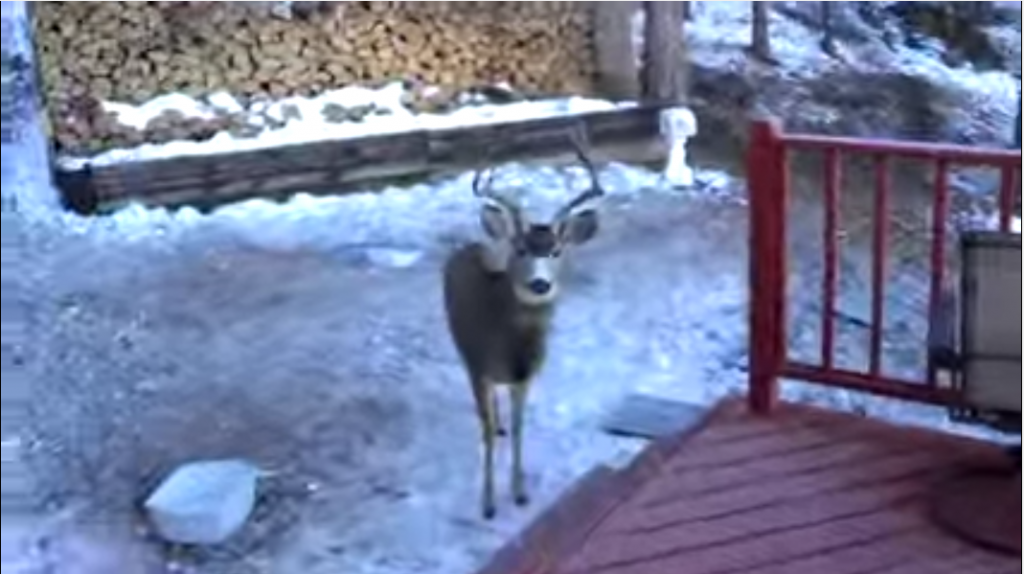 buck-greets-man-at-his-back-door