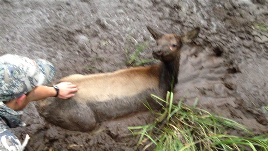 Idaho Hunters Rescue Elk Calf from Muddy Wallow