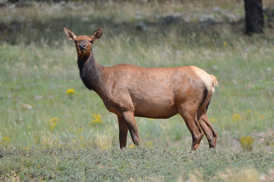 Number of Arkansas Deer and Elk with CWD Climbs, Hunting Changes Proposed