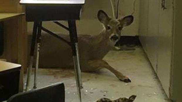 Deer Jumps Through School Window in Saskatchewan