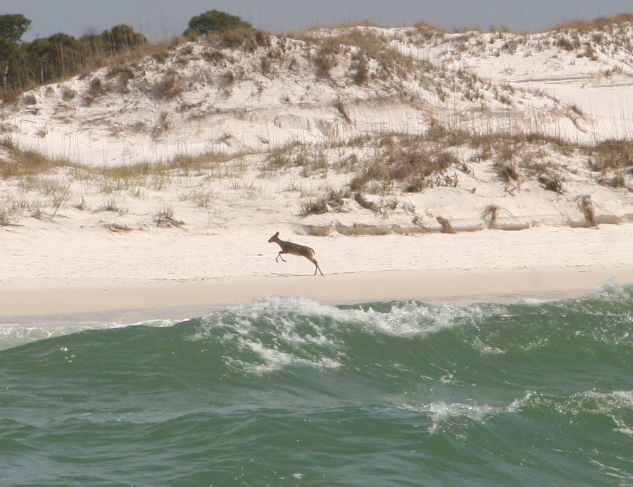 deer-pounce-along-the-beach-into-st-andrew-state-park