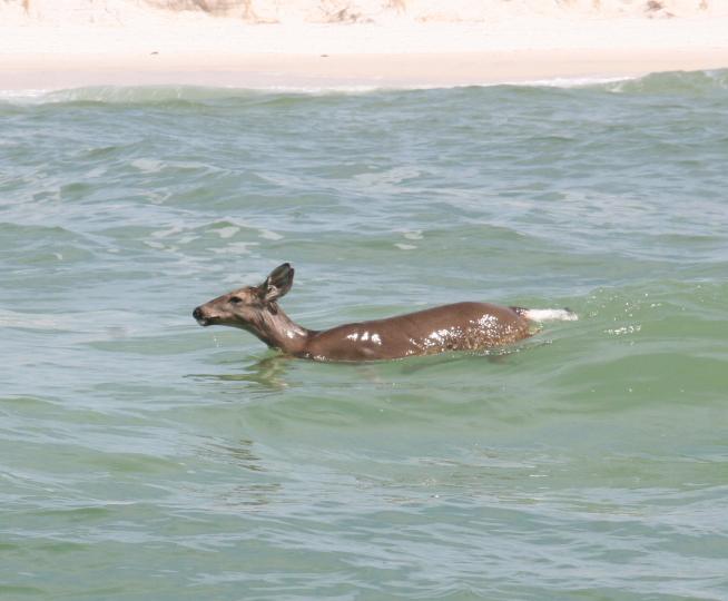 deer-swimming-back-to-shore-panama-city-beach