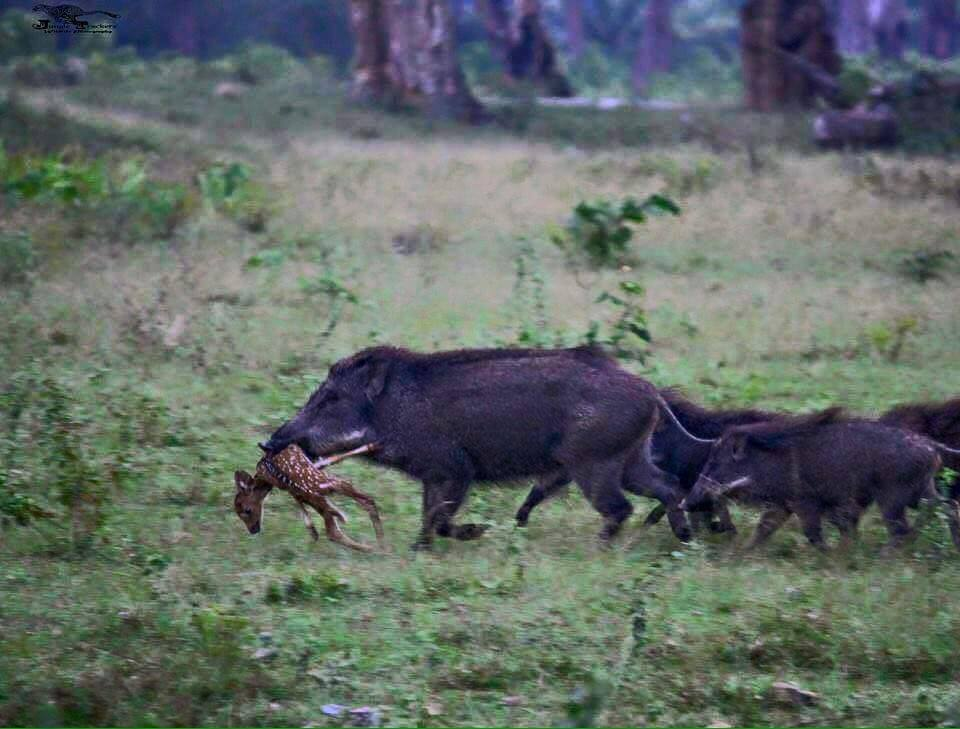Feral Hog Carrying Fawn Caught on Camera