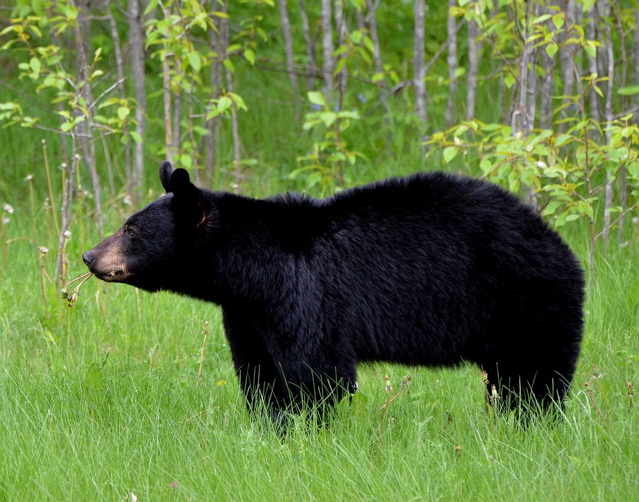 Florida Black Bear Population on the Rise