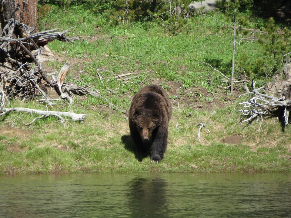 $10K Reward Offered for Information about Poached Idaho Grizzly