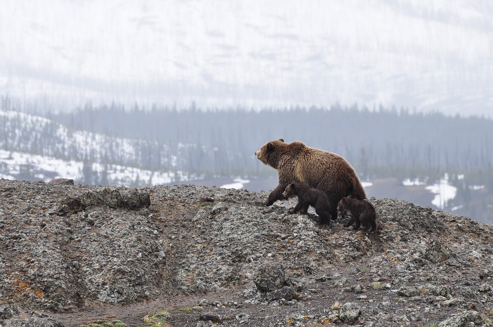 U.S. Fish and Wildlife Service Proposes Delisting Yellowstone Grizzly Bear Due To Recovery
