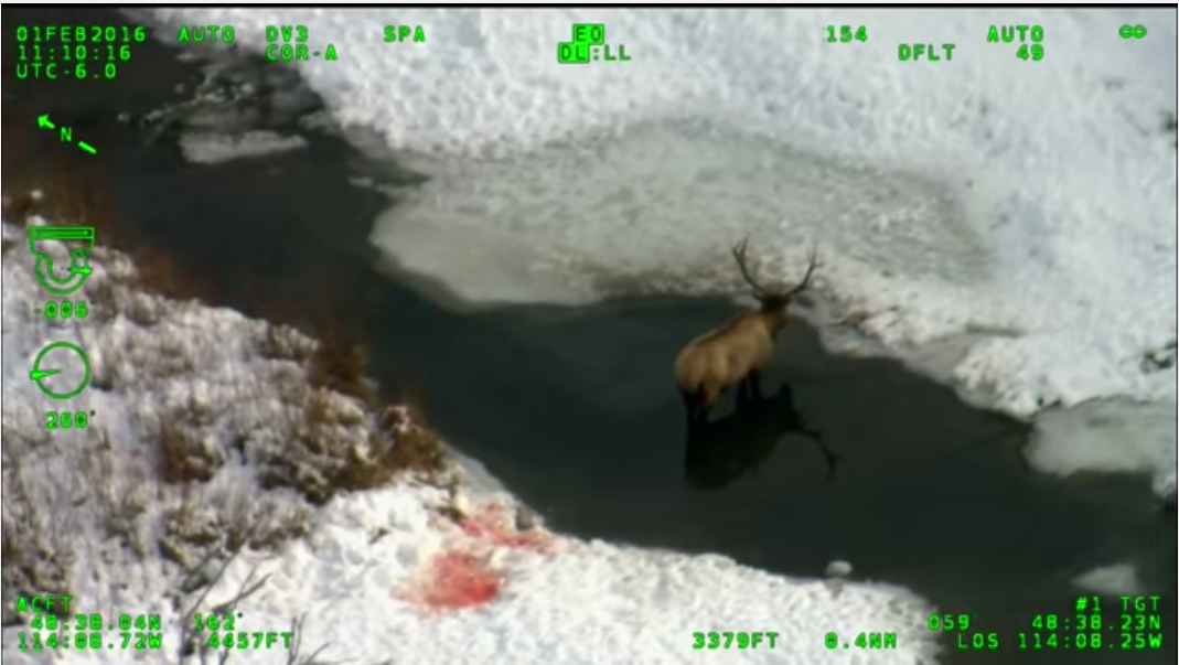Infrared Video Documents Wolves Attacking Bull Elk