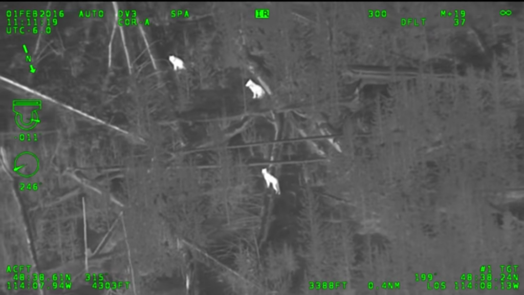 infrared-video-shows-wolves-in-timber