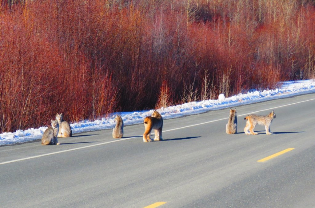 lynx-family - on-yukon-highway