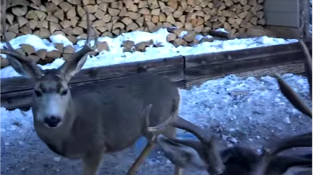 WATCH:  Man Feeds One Deer, Soon Has to Feed Entire Herd