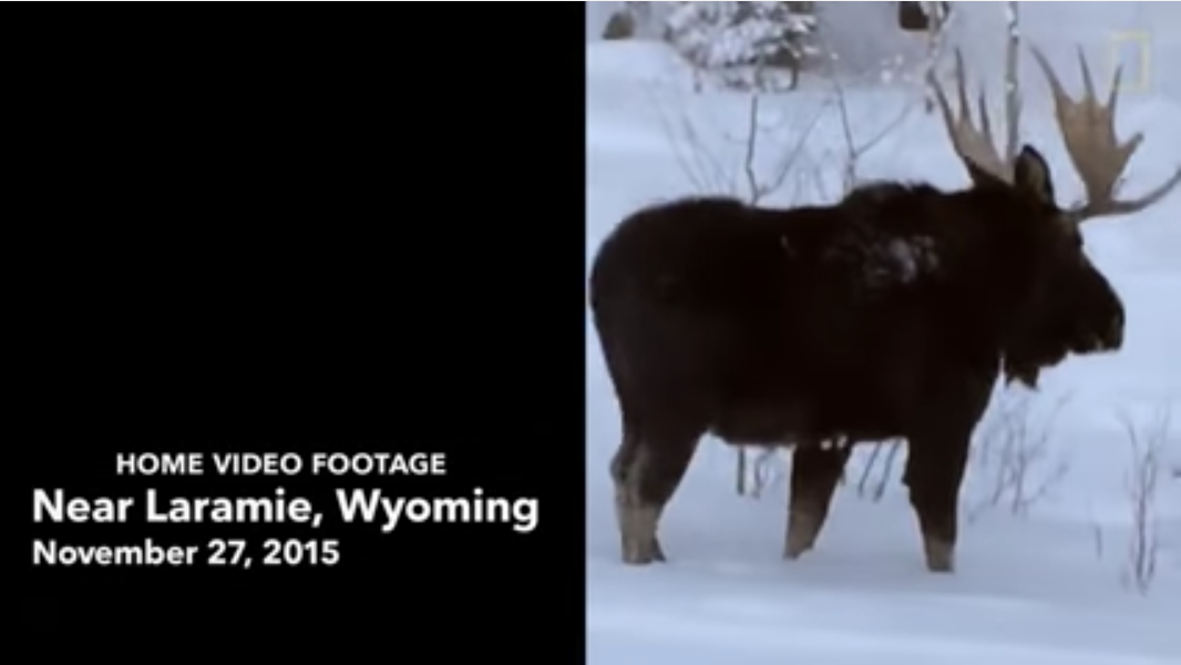 Watch a Moose Lose its Antler in this Rare Video Footage