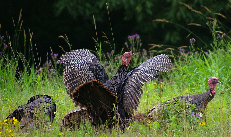 North Carolina Encourages Turkey Hunting as Population Booms