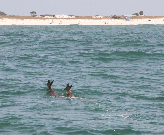 Florida Conservation Officer Corrals Two Deer Lost at Sea