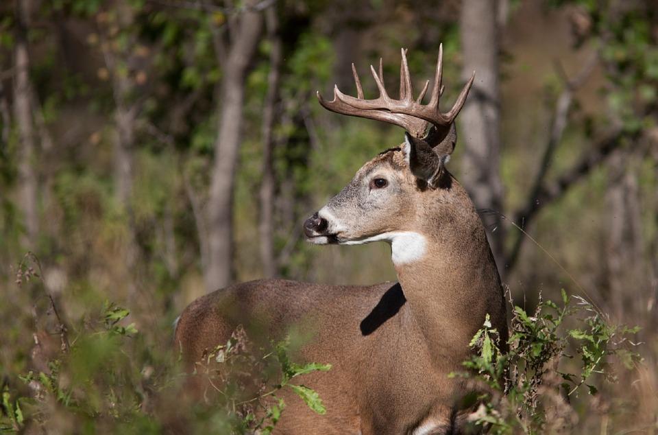 Buck Kills Increase, Antlerless Kills Decrease in Pennsylvania