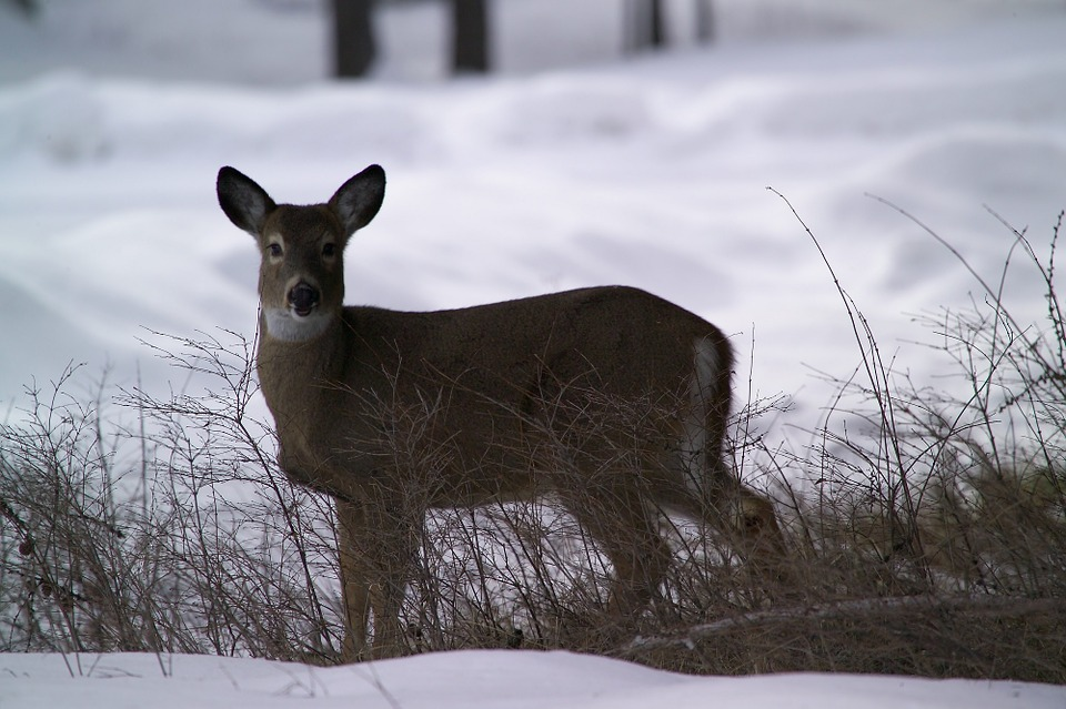 Ann Arbor Wraps Up First Deer Cull