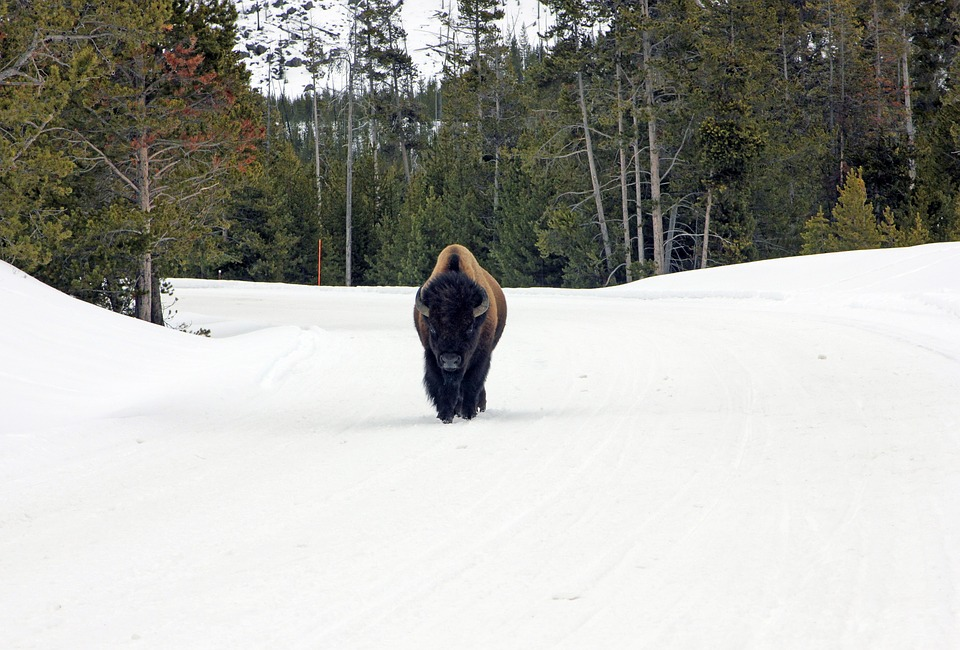75 Yellowstone Bison Captured for Slaughter