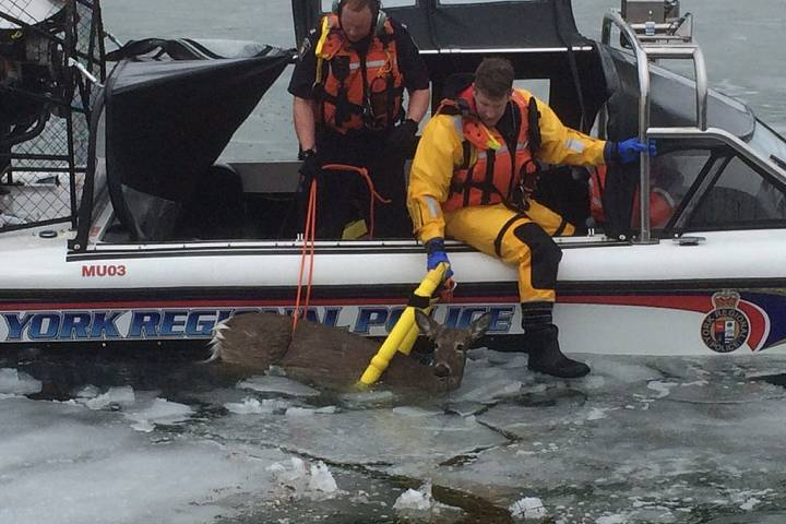 Marine Unit Rescues Deer from Frozen Lake Simcoe