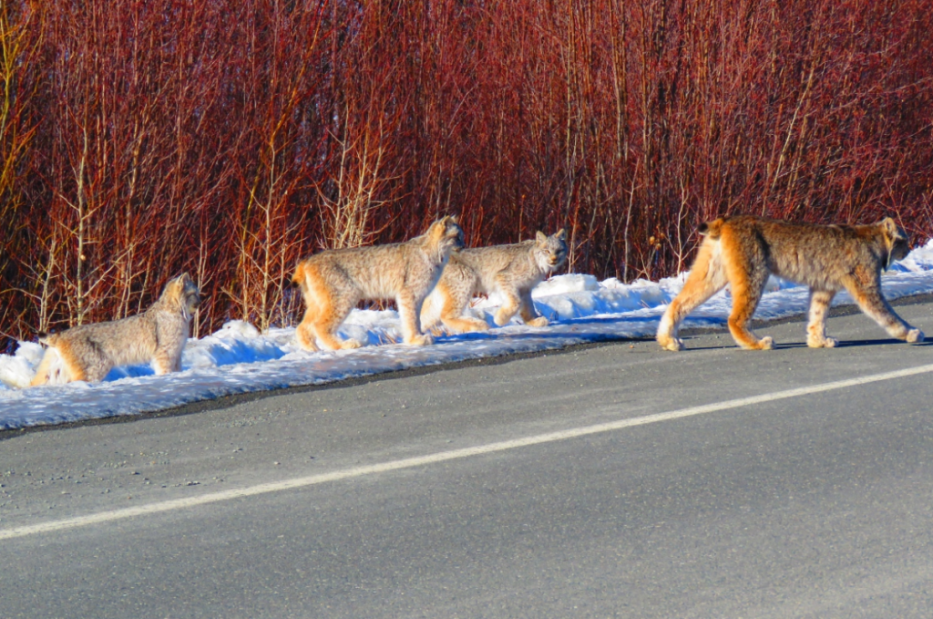 yukon-couple-photographs-family-of-lynx-on-highway