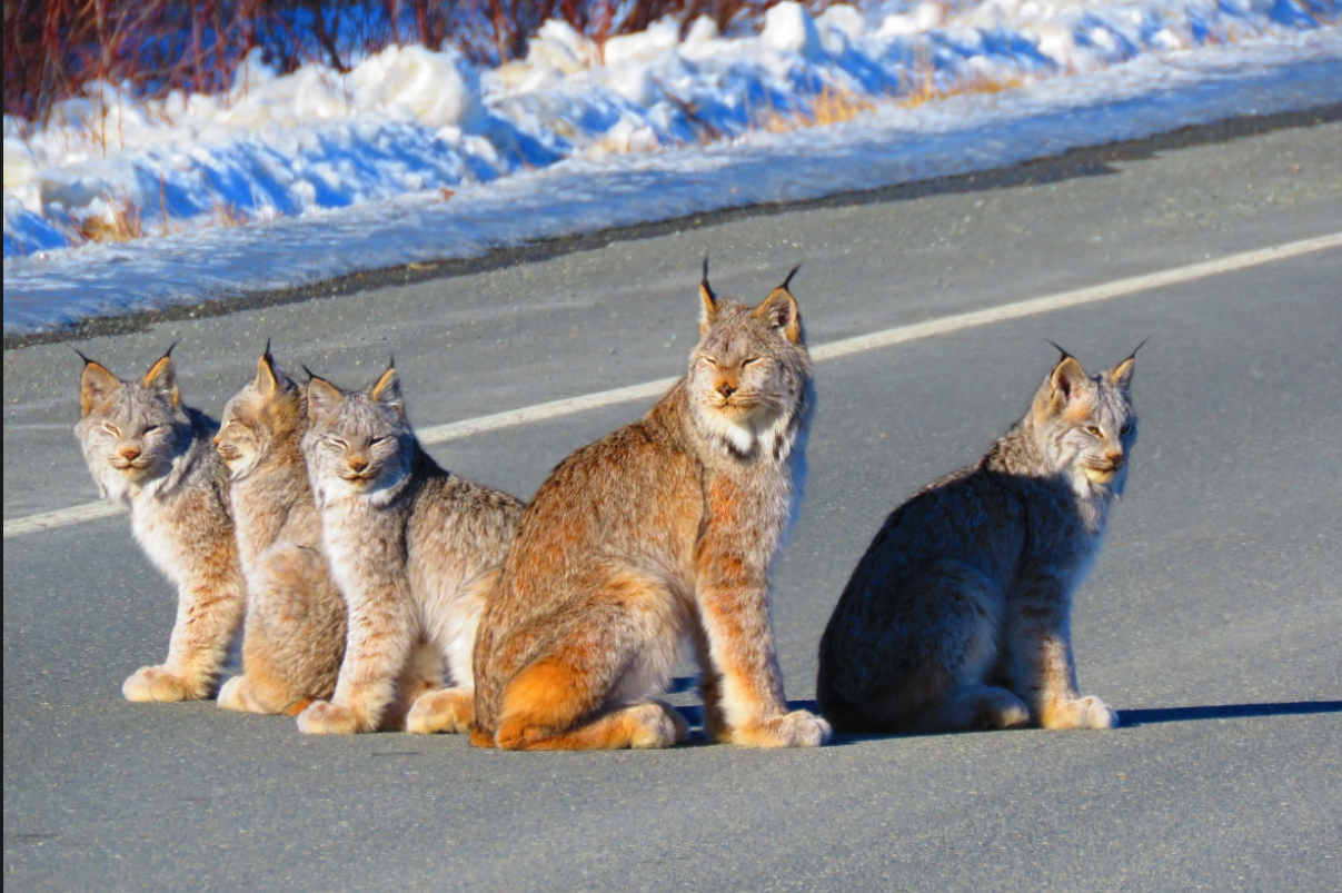 Yukon Couple Photographs Lynx Family in the Middle of Highway